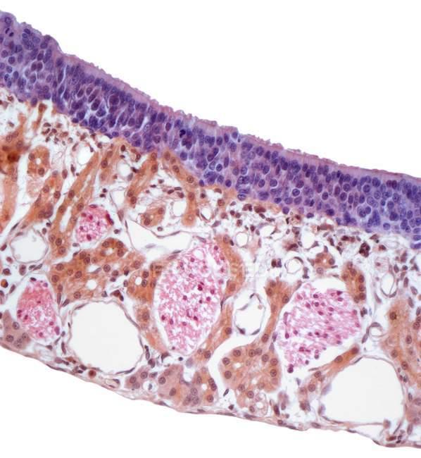 Section through the nasal mucosa — Stock Photo