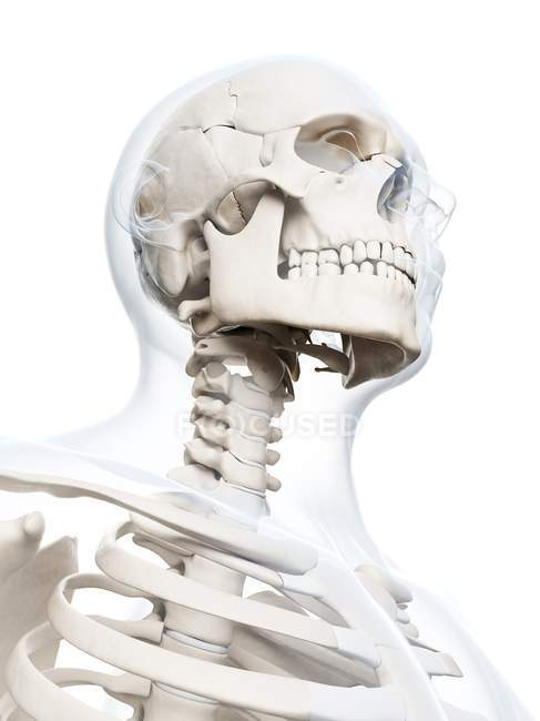 Human skull structure — Stock Photo