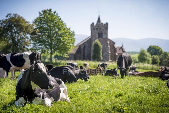 Vacche da latte sdraiate e al pascolo in campo con antica costruzione in pietra . — Foto stock