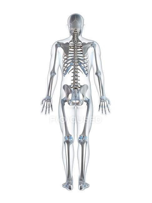 Human Skeletal System Stock Photo 160217324