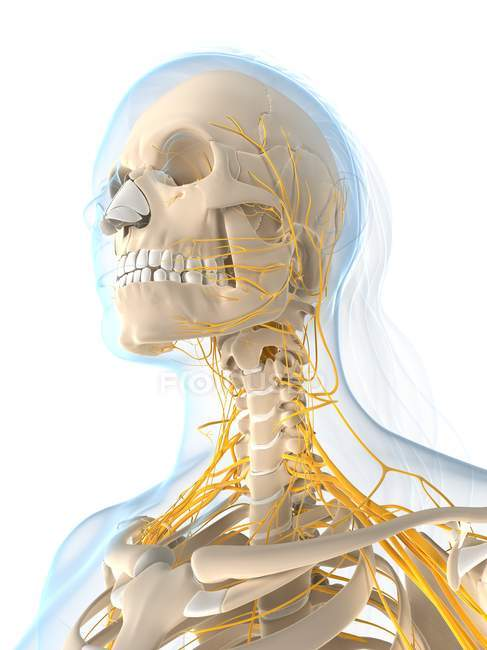 Female nervous system — Stock Photo