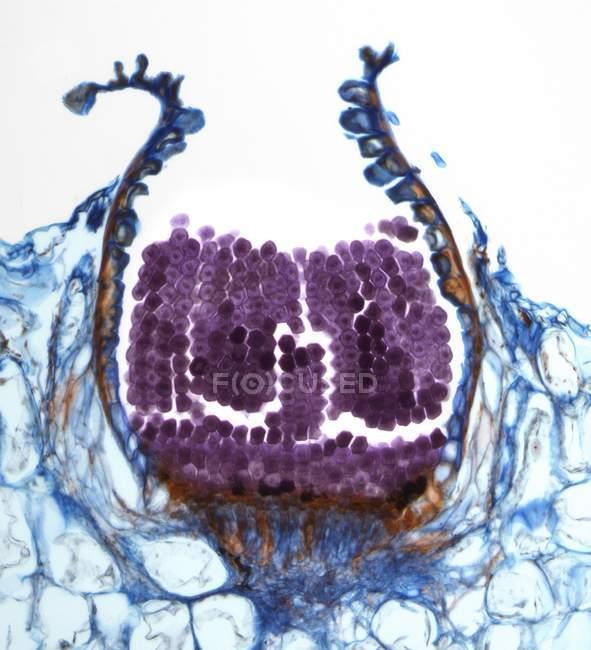 Micrografía ligera de una sección a través de una aeciospora de una Puccinia sp. hongos oxidados . - foto de stock