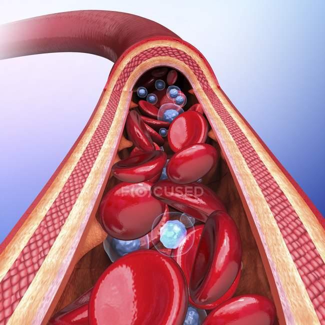 Arteria humana que muestra las paredes arteriales y el torrente sanguíneo - foto de stock