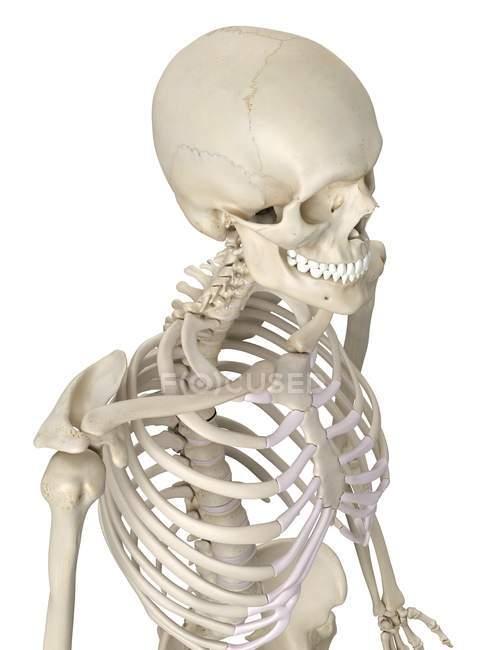 Anatomía de tórax humano - foto de stock