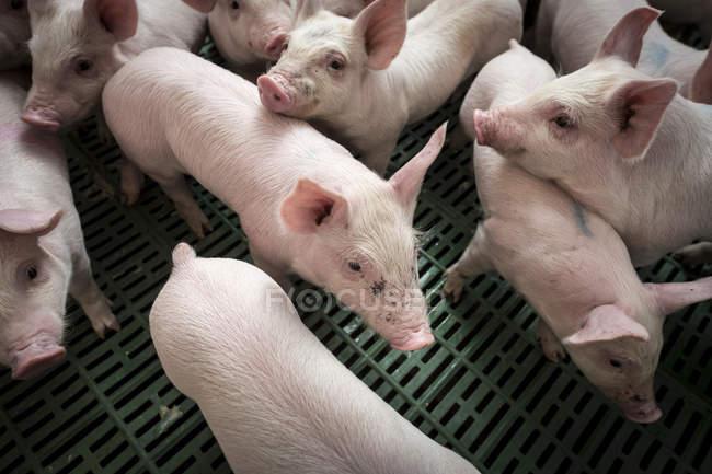 Lechones de granja en granero - foto de stock