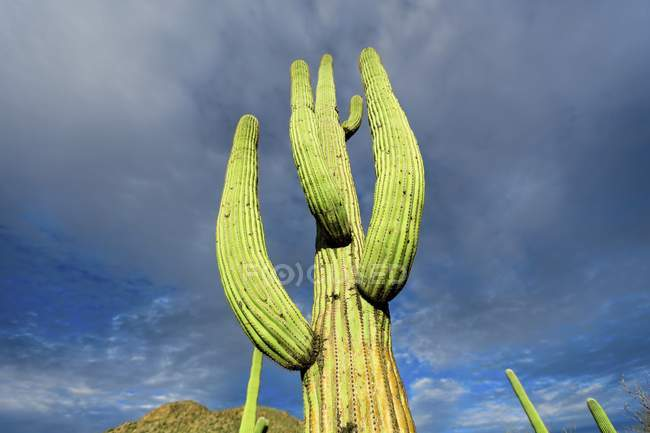 Vista de ângulo baixo do cacto que cresce no deserto. — Fotografia de Stock