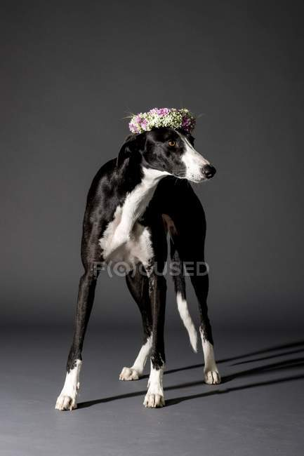 Studio shot of black and white dog with wreath of flowers. — Stock Photo
