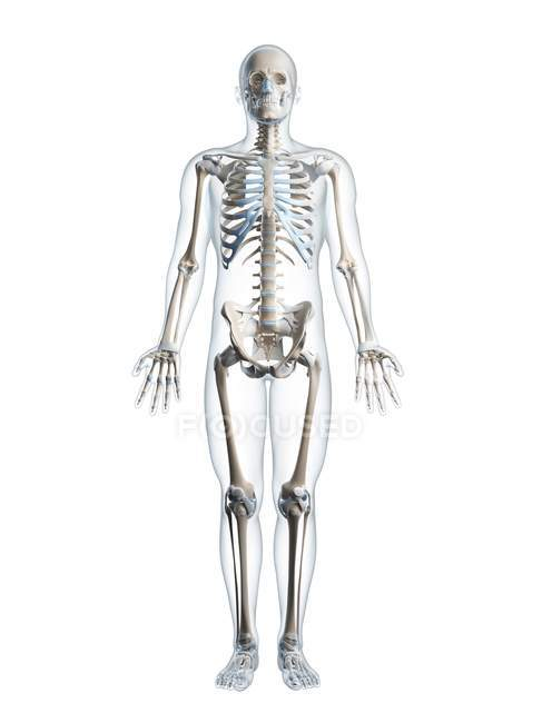 Menschliches Skelett-Systems — Stockfoto | #160218396