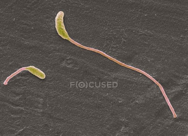 Batteri Clostridium phytofermentans — Foto stock