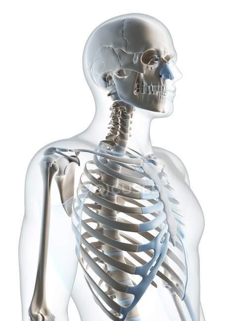 Upper Body Skeletal System Stock Photo 160218600