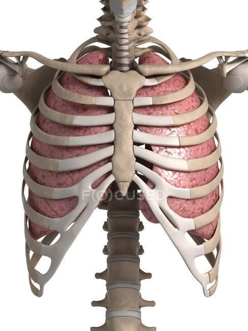 Pulmones humanos con caja torácica - foto de stock