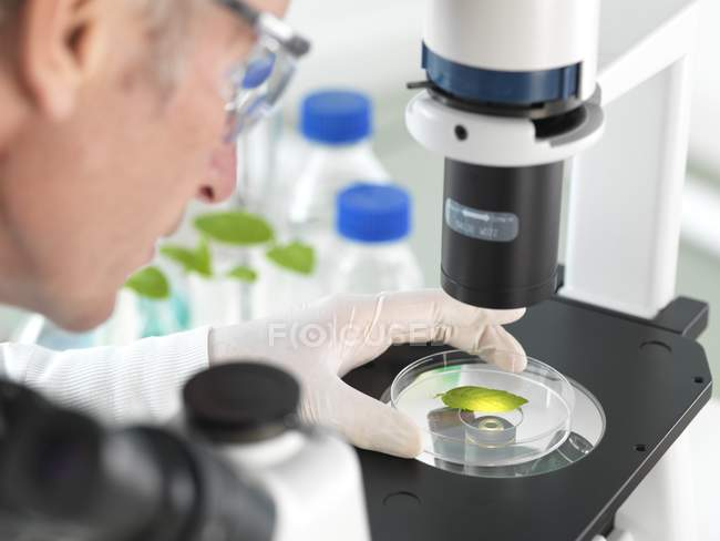 Wissenschaftler betrachten Pflanzenblatt in Petrischale unter umgekehrtem Mikroskop im Labor. — Stockfoto