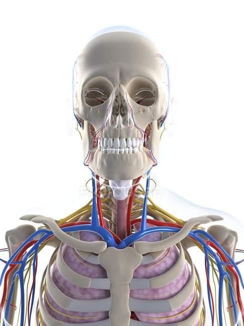 Anatomía masculina con tejido y sistemas - foto de stock