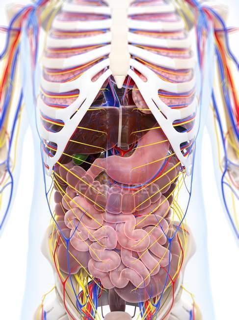 Anatomía humana normal - foto de stock