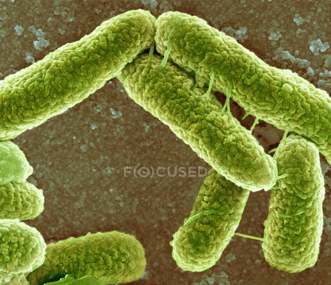 Escherichia coli bacteria — Stock Photo