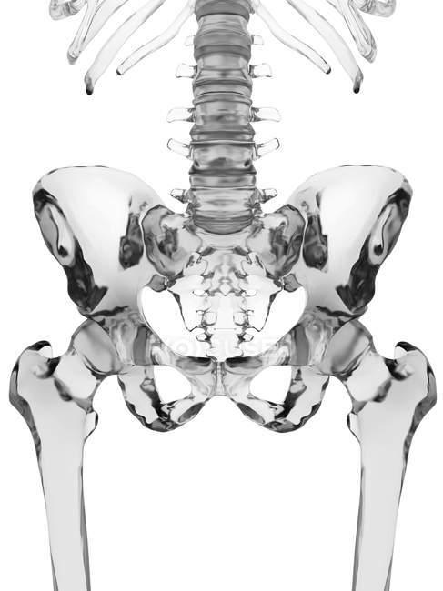 Huesos de pelvis humana - foto de stock