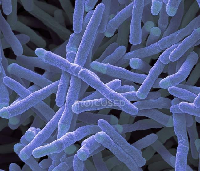 Mycobacterium smegmatis bacteria — Stock Photo