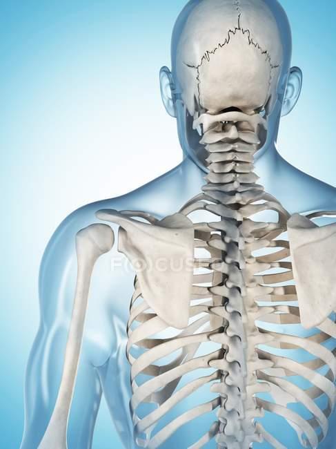 Upper Body And Skull Skeletal System Stock Photo 160220196