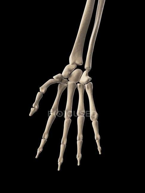 Menschlicher Arm-Skelett-Struktur — Stockfoto | #160220214