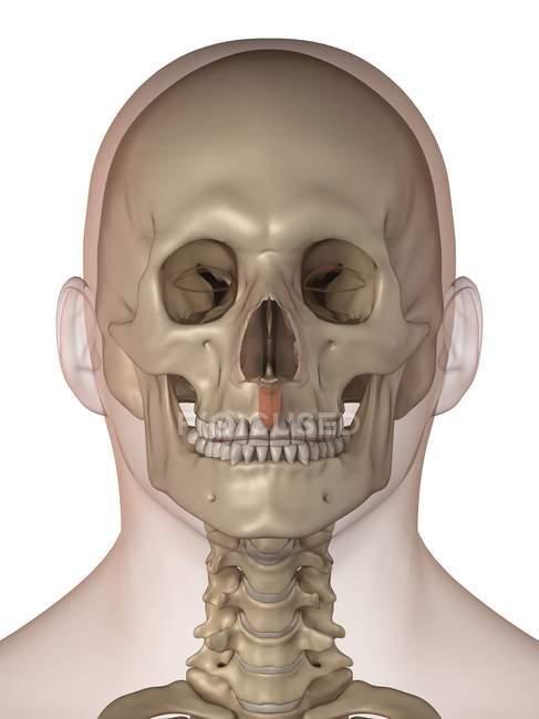 Gesichts-Knochen und Zähne — Stockfoto   #160220440