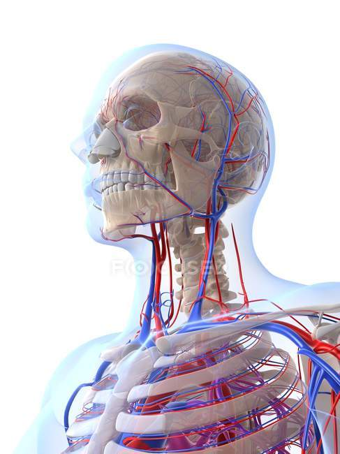 Male Vascular System Stock Photo 160220508