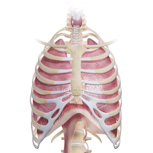 Анатомия груди человека — стоковое фото