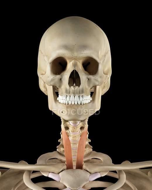 Hals-Knochen Struktur und Muskel-Anatomie — Stockfoto | #160220620