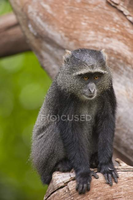 Scimmia diadema blu seduta su un ramo d'albero . — Foto stock