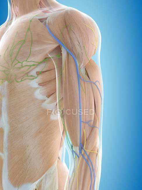 Suministro de sangre al hombro - foto de stock