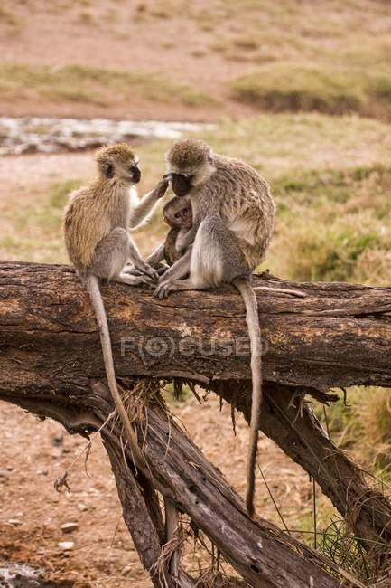 Grivet singes assis sur le tronc d'arbre — Photo de stock