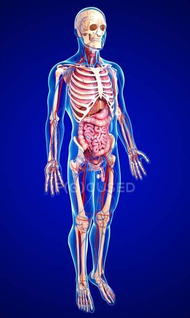 Чоловічий анатомії з тканин і системи — стокове фото