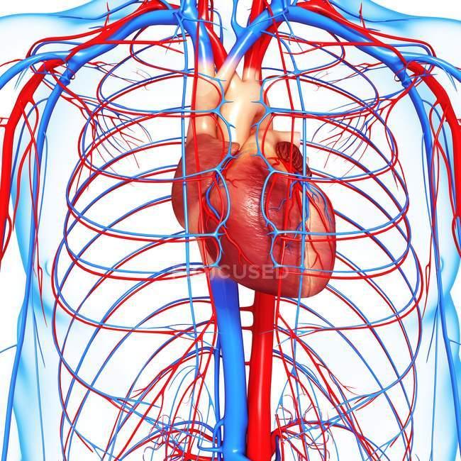 Sistema cardiovascular con énfasis en el corazón - foto de stock