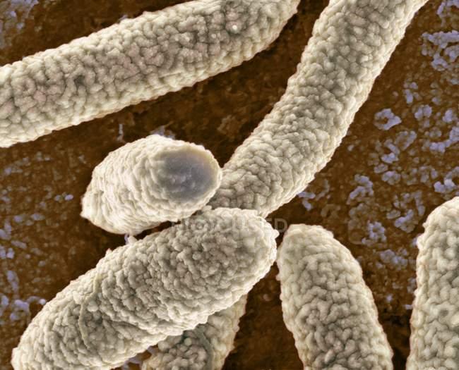 Escherichia coli bacteria — Stock Photo