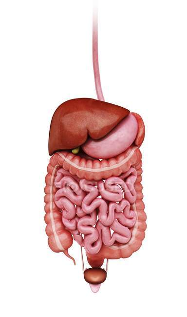 Organs comprising human digestive system — Stock Photo