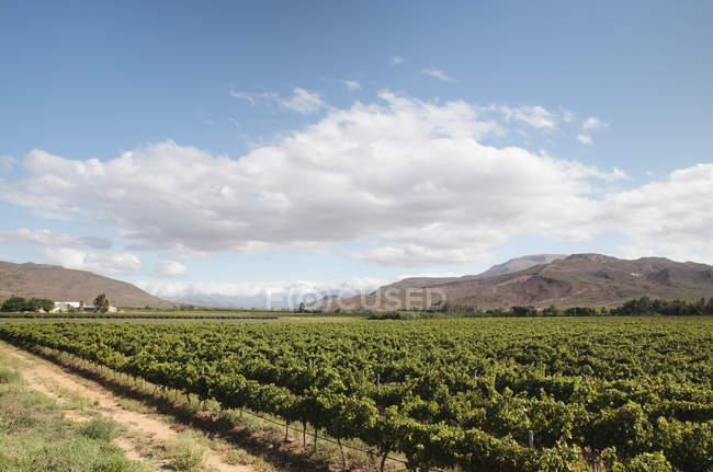 Vinegroves in Südafrika — Stockfoto