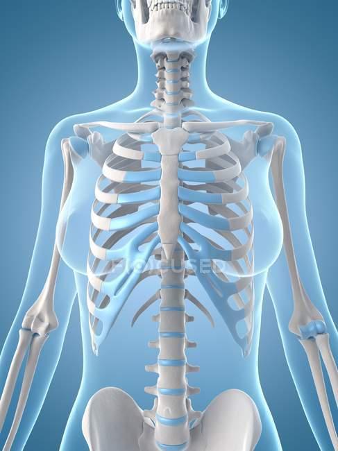 Brustkorb und oberen Körper-Skelett-Systems — Stockfoto | #160221228