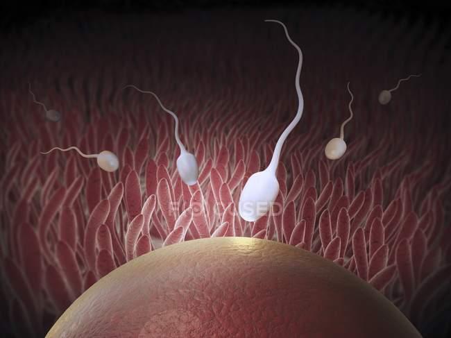 Sperm fertilizing an egg cell — Stock Photo