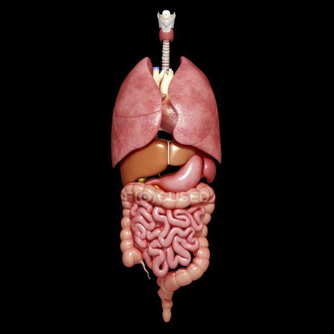 Normal Human Organs Medical Illustration Internal Organ Stock