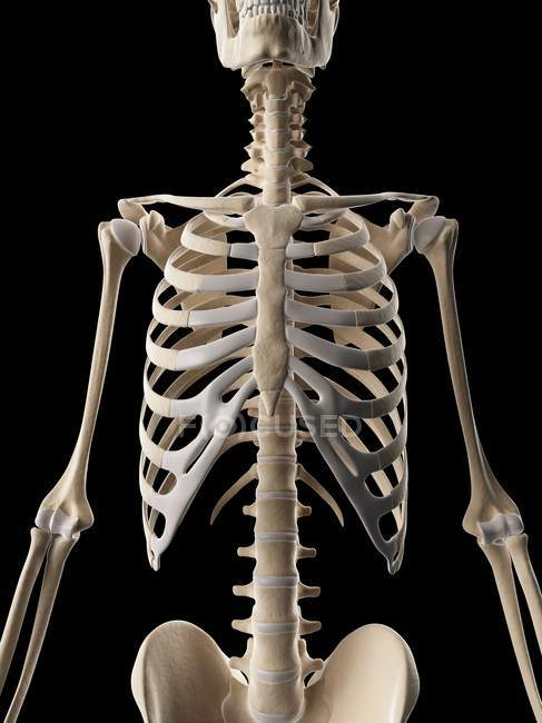 Human Ribcage Structure Stock Photo 160221338