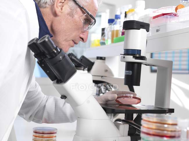 Scientist experimenting with cultures in petri dishes with biohazard warning in microbiology lab. — Stock Photo
