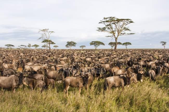 Migrazione di gnu azzurri nel Serengeti, Tanzania . — Foto stock