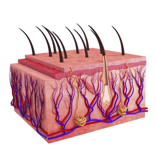 Анатомия кожи, показаны расслоение тканей — стоковое фото