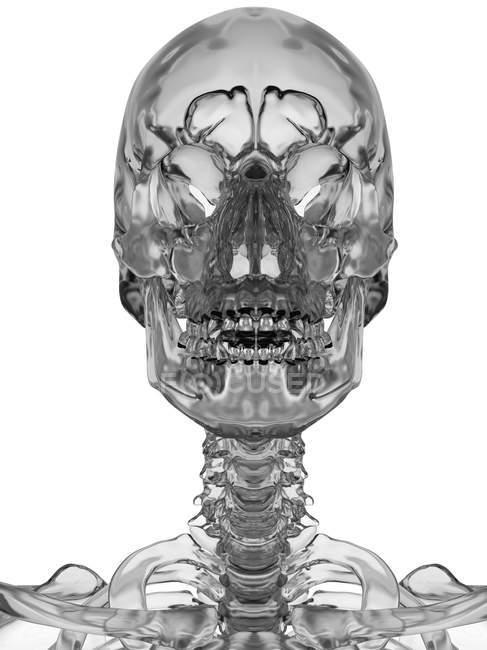 Human Facial Bones Stock Photo 160221844