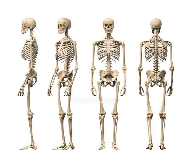 Human skeleton structure — Stock Photo | #160221934