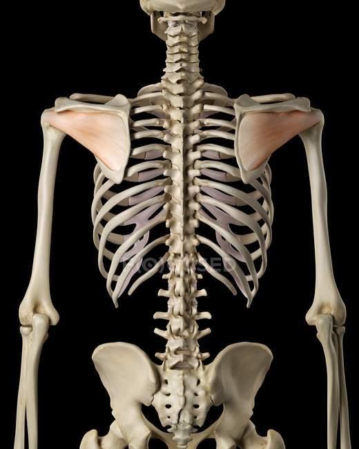 Sistema esquelético humano - foto de stock