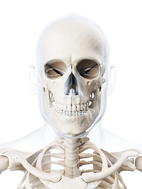 Struttura del cranio umano adulto — Foto stock