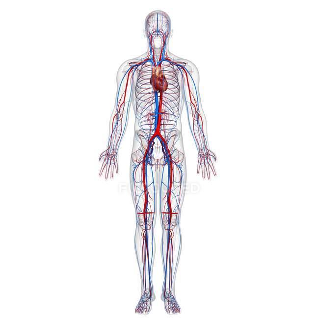 Sistema cardiovascular humano — Fotografia de Stock