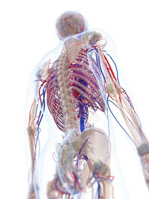 Male vascular system — Stock Photo | #160222174