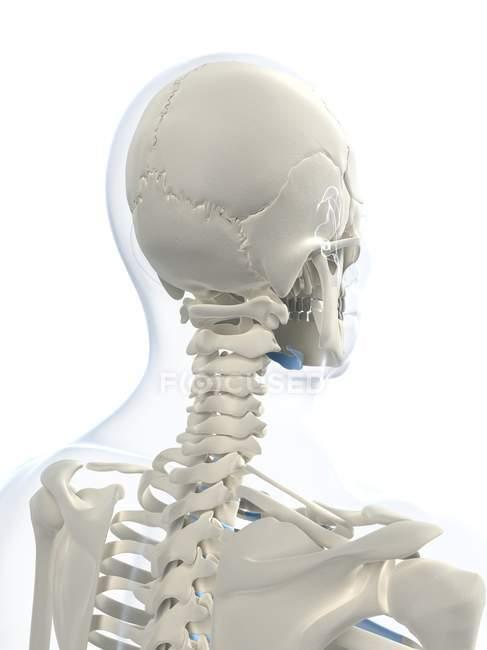 Nahaufnahme von Schädel und Schädel Knochen — Stockfoto | #160222414