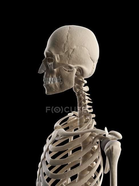 Oberkörper-Skelett-Systems — Stockfoto | #160222426